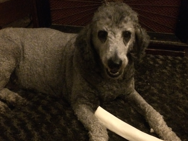 metatron healing poodle