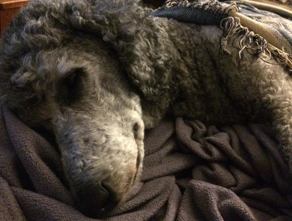 sick poodle lyme victim